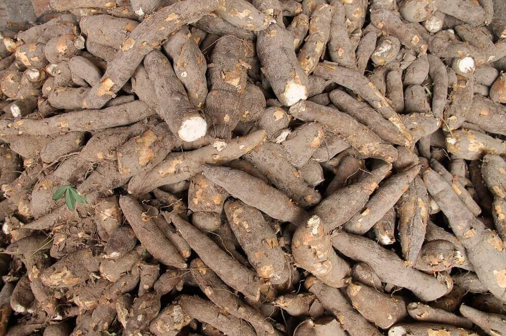 maniok jadalny wartości witaminy